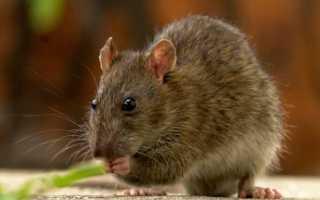 Крыса это человек который