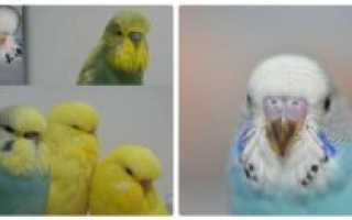 Отличие волнистых попугаев