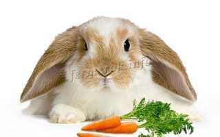 Белый вислоухий кролик