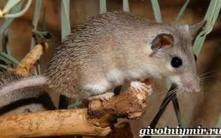Игольчатая мышь фото