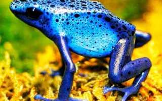 Голубые лягушки фото