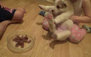 Кормление собак алабай
