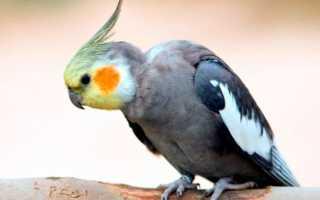 Попугай корелла поведение самца