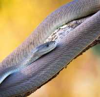 Мамба это змея