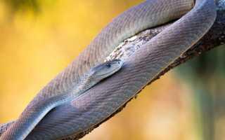 Игольная змея против черной мамбы