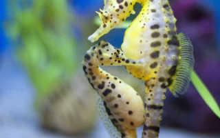Морской конек это рыба или животное