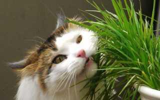 Как ухаживать за травой для кошек