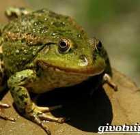 К какому классу относится жаба