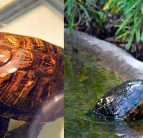Чем можно кормить домашних черепах