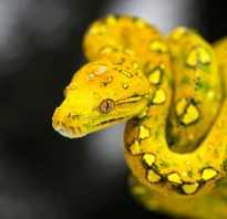 Ярко желтая змея
