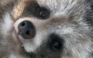 Тануки порода собак