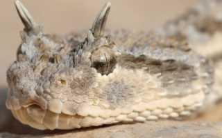 Рогатая змея фото