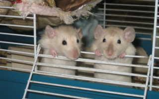 Беременная крыса фото