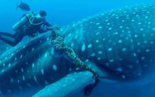 Китовая акула хрящевая рыба
