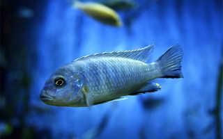 Рыбка зебра желтая