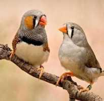 Канарейка и попугай в одной клетке