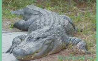 Аллигатор это рептилия
