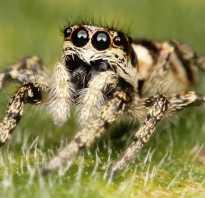 Кто ест пауков из животных
