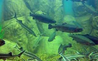 Размножение осетровых рыб
