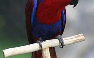 Попугай красно зеленый