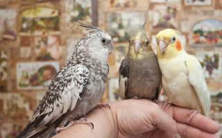Попугай нимфа корелла цена