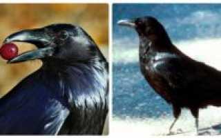 Как живут вороны