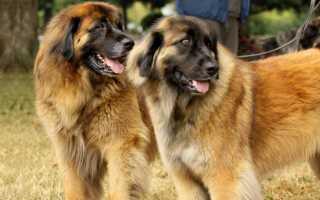 Порода собаки леонбергер овчарка информация