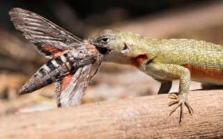 Что ест ящерица обыкновенная