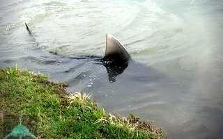 Где обитают пресноводные акулы