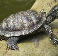Болотная черепаха содержание и уход
