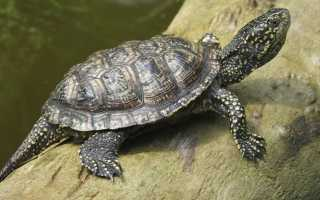 Болотная черепаха уход в домашних