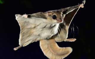 Белка летяга фото животного