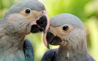 Голубая ара фото