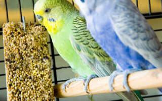Как давать вареное яйцо волнистым попугаям