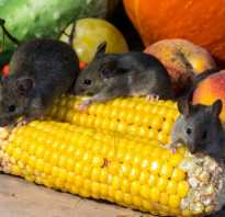 Как выглядит маленькая крыса и мышь