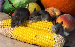 Как отличить мышь от крысенка фото
