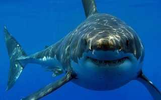 С какой скоростью плавает белая акула