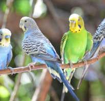 Крик попугая волнистого