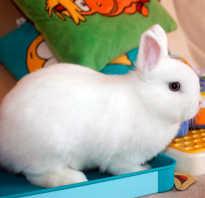 Кролик гермелин описание