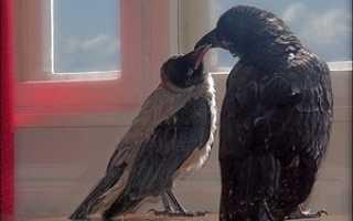 Жизнь ворона википедия