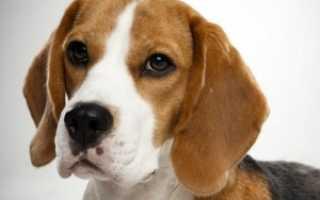 Бигль собака описание породы характер фото