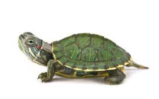 Декоративная черепаха уход и содержание фото