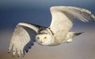Где живет белая сова