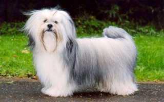 Лхасский апсо порода собак