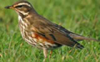 Птица рода дроздов
