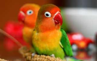 Как определить возраст попугая неразлучника