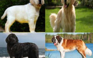 Какие породы собак умные и добрые