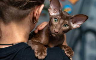 Ориентальная кошка гипоаллергенная