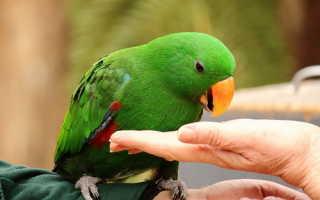 Как приручить ожерелового попугая к рукам