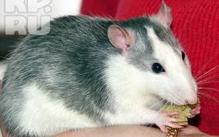 Крыса хаски фото